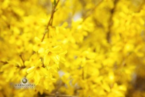Yellow flowers on bush - Inn at 835 - WarmowskiPhotography.com